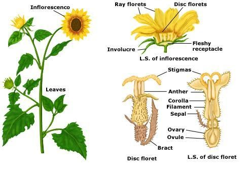 SCIENCE YEAR 3 (PLANTS): Part of Sunflower