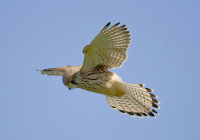 Kestrel Flying