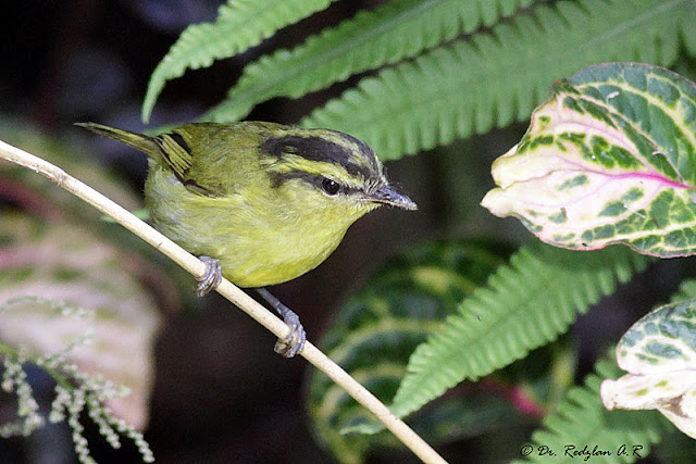 Mountain Leaf Warbler