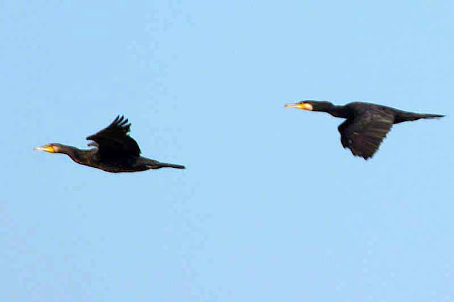 birds, Great Cormorant