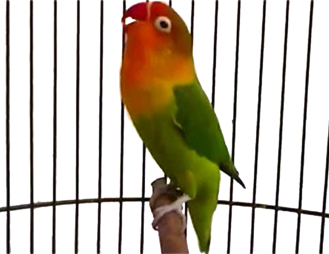 Image Result For Cara Merawat Love Bird Supaya Gacor