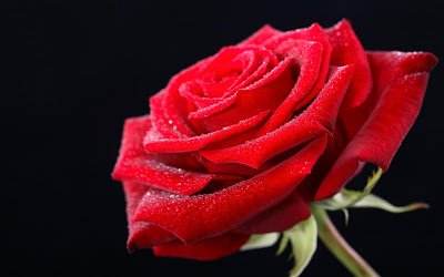 try to follow the old tradition and give a fresh red rose as a gift for him on this valentines day i think this is the cheapest and best gift for husband