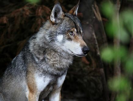 Manada: Guardianes del bosque - Página 8 Canis+lupus+-+Lobo+com%C3%BAn+-+Naica+animales+salvajes