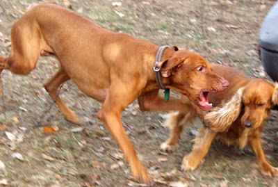 aggressive-dog-behavior-towards-other-dogs