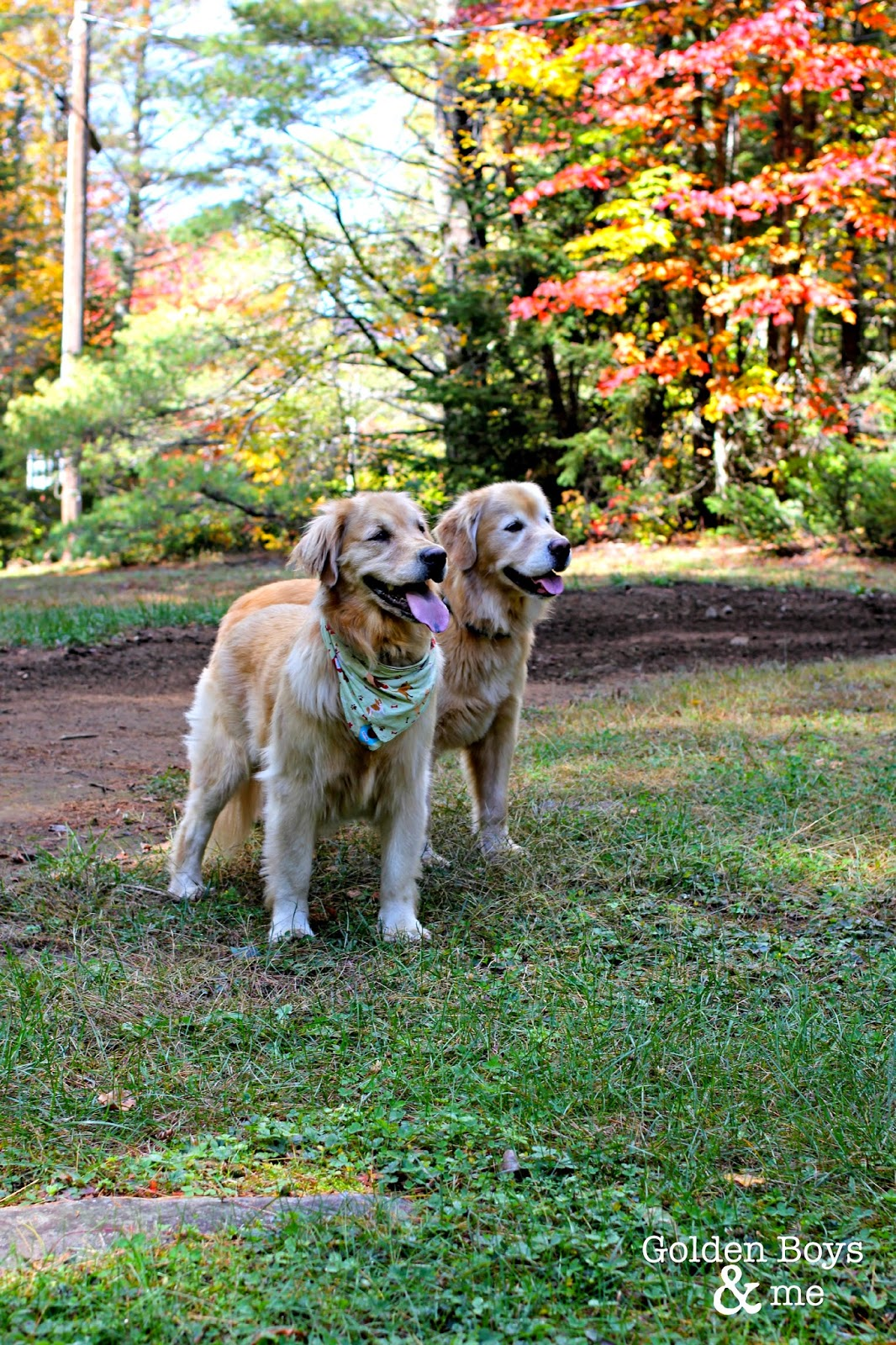 golden retrievers in fall foliage via www.goldenboysandme.com