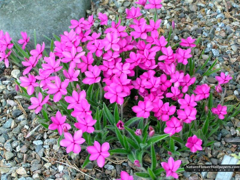 Yeni çiçek resimleri 2012 yeni masaüstü güzel çiöek resimleri