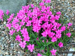 Yeni çiçek Gül Resimleri Masaüstü En Güzel Gül Resimleri çiçek