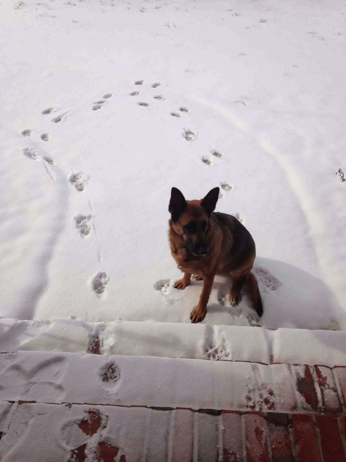 Cute dogs - part 8 (50 pics), german shepherd dog hates snow