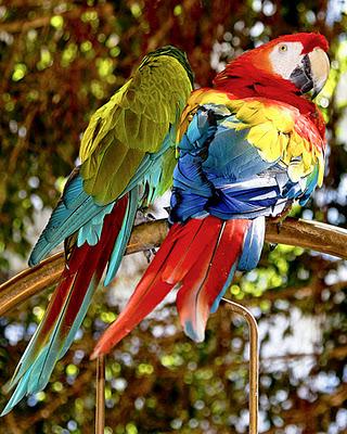 lahaina parrot