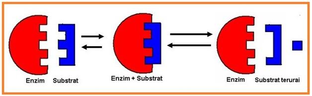 Pernyataan yang benar mengenai sifat enzim berdasarkan gambar adalah ...