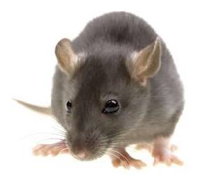 Tikus (mouse)