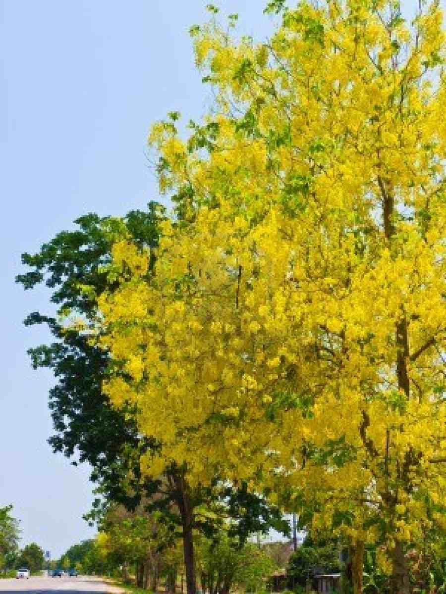 Trees Planet Cassia Fistula Golden Shower Tree