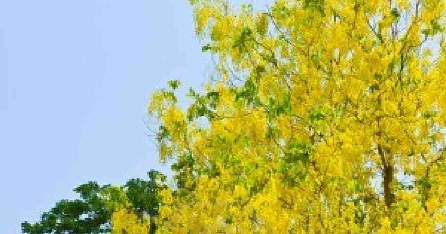 Genus of golden shower tree