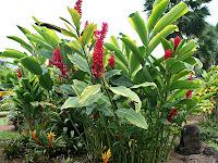 Jahe Merah - Reg Ginger (Alpinia Purpurata)
