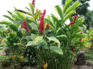 Jahe Merah - Reg Ginger (Alpinia Purpurata) - Mahkota Herbal