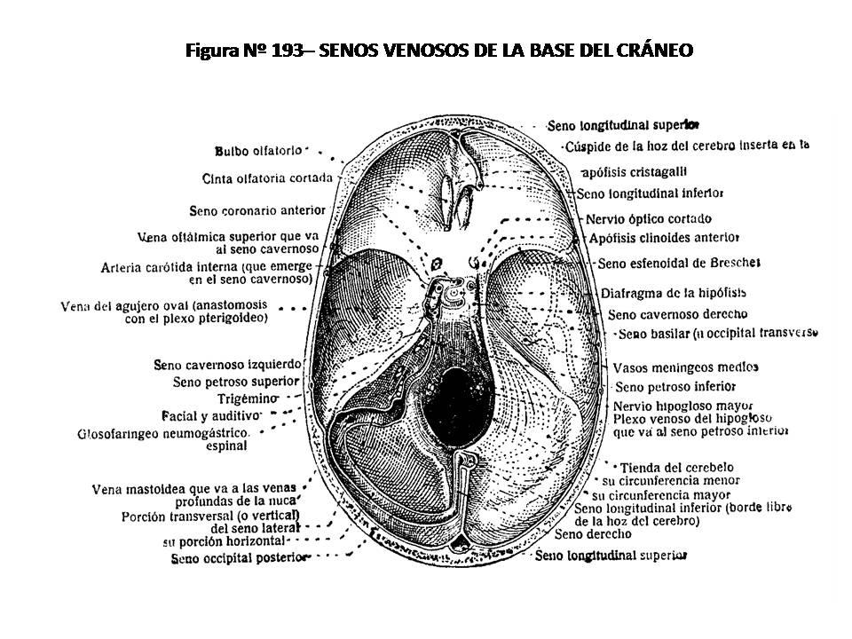 ATLAS DE ANATOMÍA HUMANA: 193. SENOS VENOSOS DE LA BASE DEL CRÁNEO.