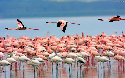 Pink Flamingos birds wallpaper