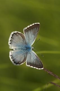 Para ampliar Polyommatus (Lysandra) hispana (Herrich-Schäffer, 1852), Macho anverso hacer clic