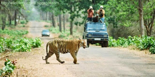 Jeep safaries in Tadoba