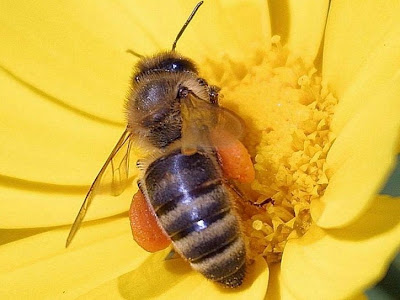 public domain image of bee