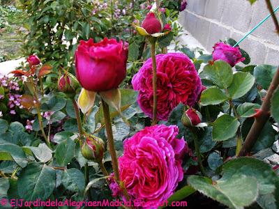 Rosa 'Falstaff' (Ausverse)