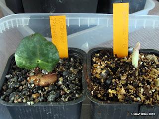 Cyclamen purpuracens, lilium