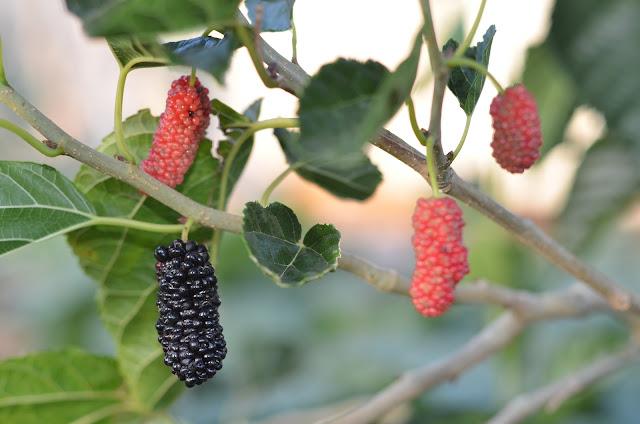 Dut mulberry