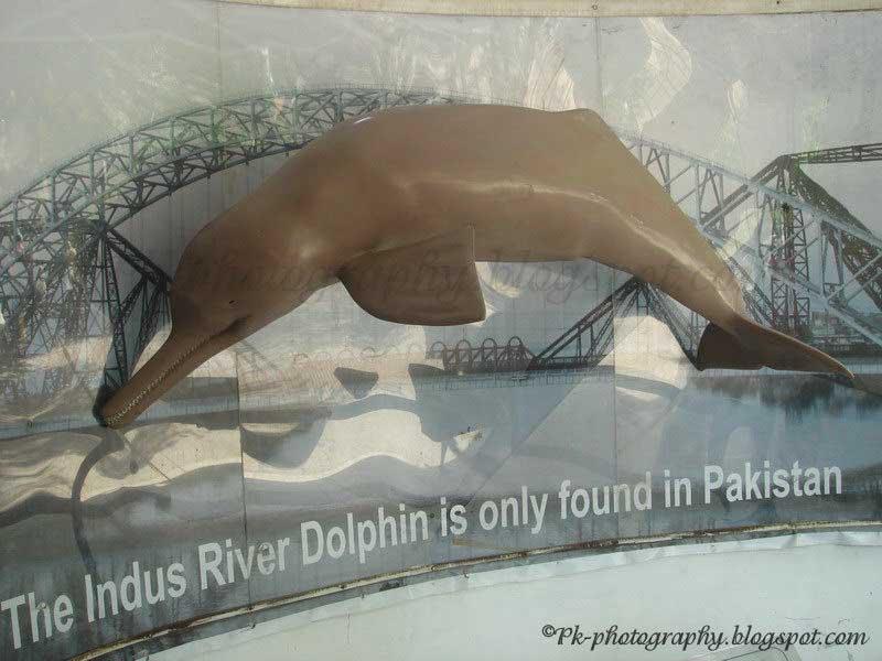 Indus river dolphin platanista gangetica minor