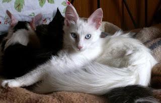 Gambar Kucing Anggora Lucu dan Imut 100014