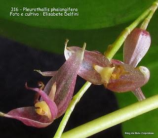Pleurothallis phalangifera