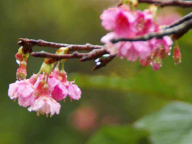 flowers, pink blossoms, raindrops