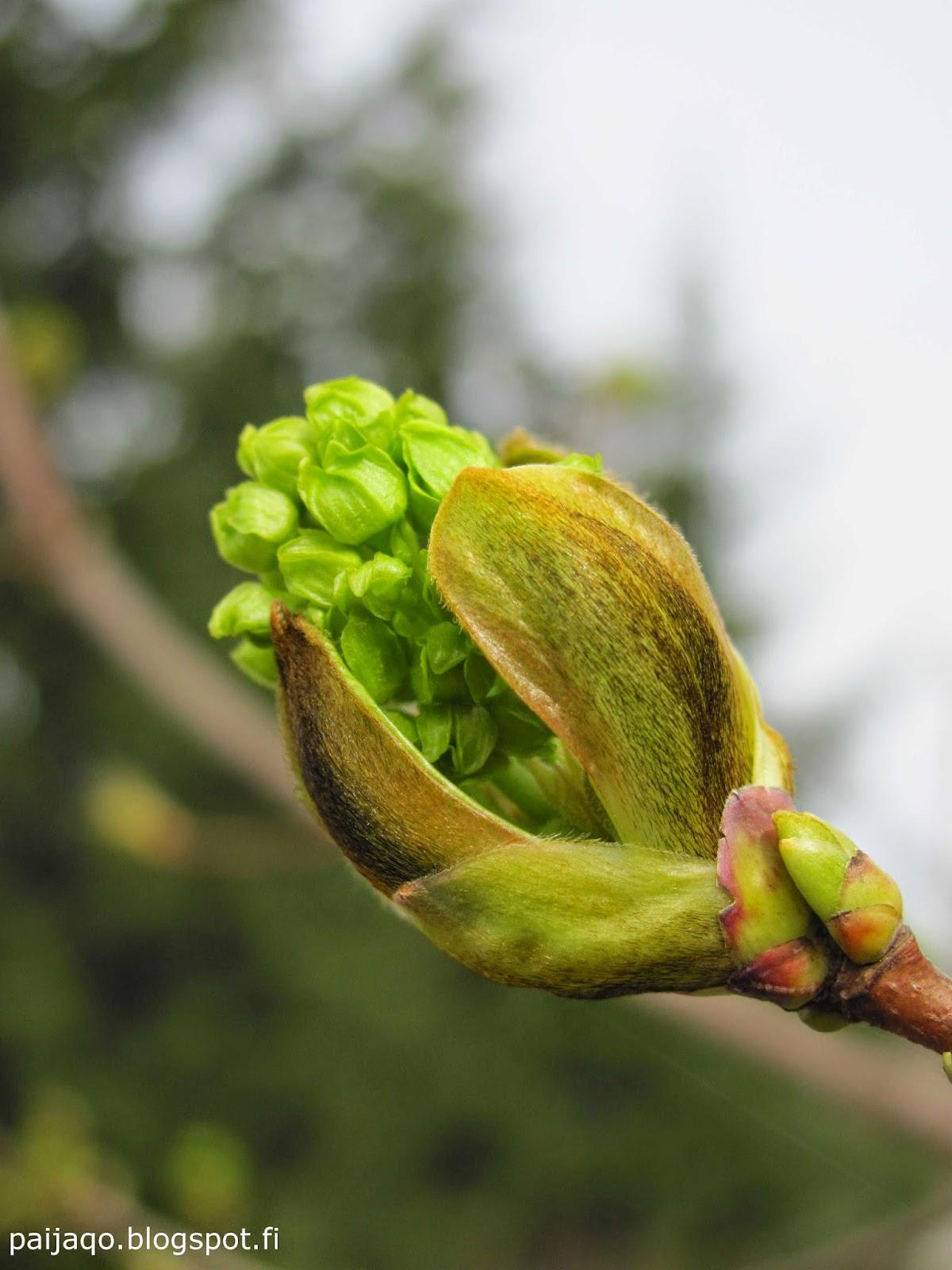 paiqo - toukokuun ensimmäinen - vaahtera