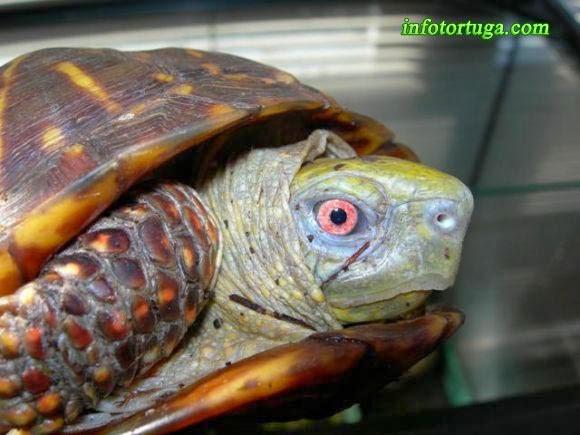 Terrapene ornata - Tortuga de caja decorada
