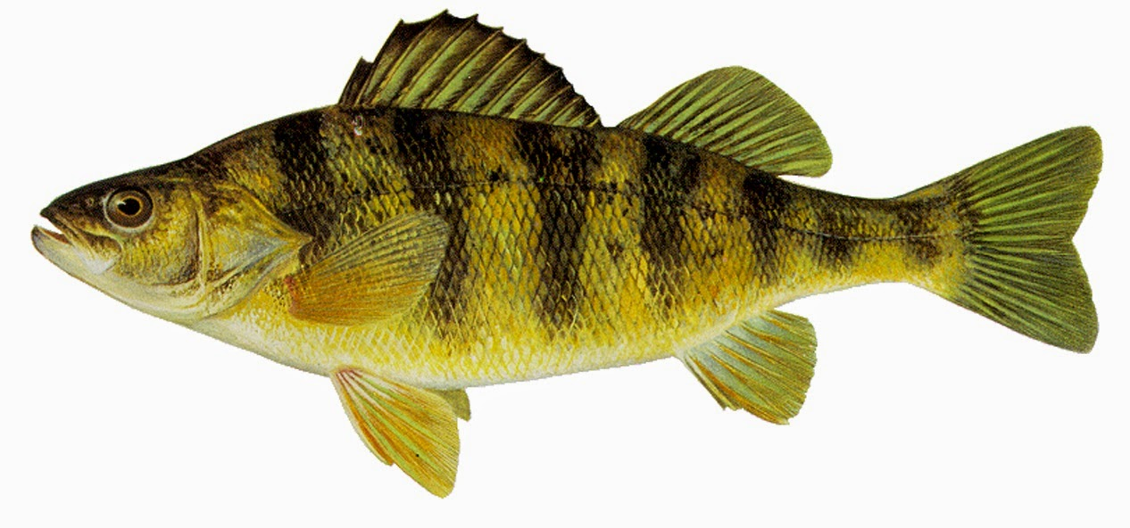 Take it outside fish iowa iowa fish species perch family for Perch fish facts
