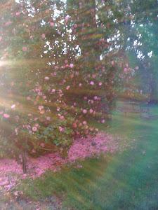 camelia garden