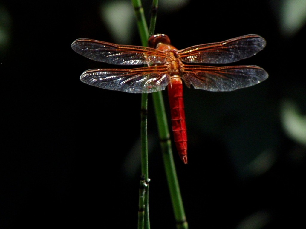 HD Dragonfly Wallpapers   Animals Library