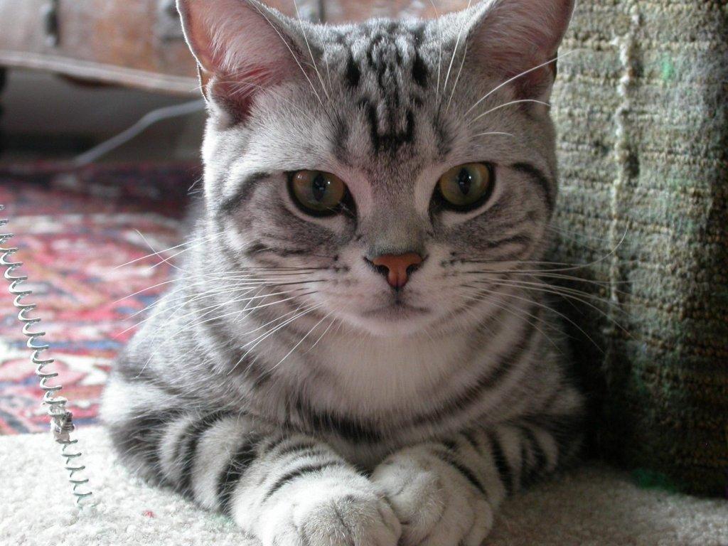American Shorthair Cat Breed Information