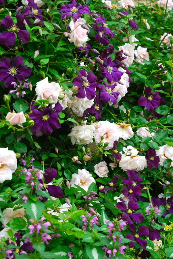 wife mother gardener pink rose and purple clematis. Black Bedroom Furniture Sets. Home Design Ideas