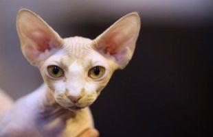 5 Jenis Kucing Paling Bersahabat dengan Manusia