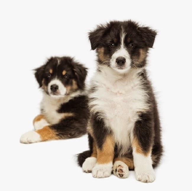 Najdroższe rasy psów w Polsce