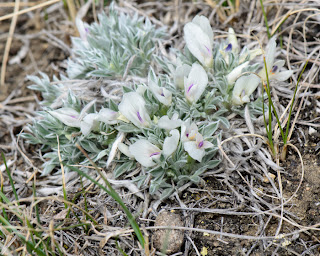 Cushion Milk-vetch plant. Photo  © Shelley Banks, all rights reserved.
