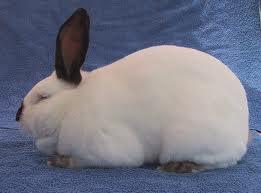 asal-usul dan sejarah kelinci californian