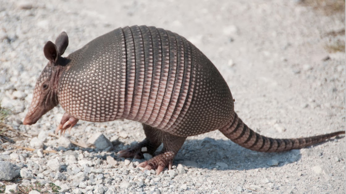 Armadillos Carry Leprosy