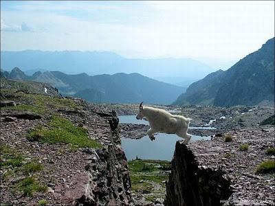 funny_picture_sheep_jump