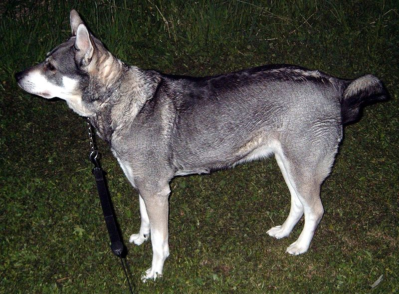 Energetic Dog Breeds