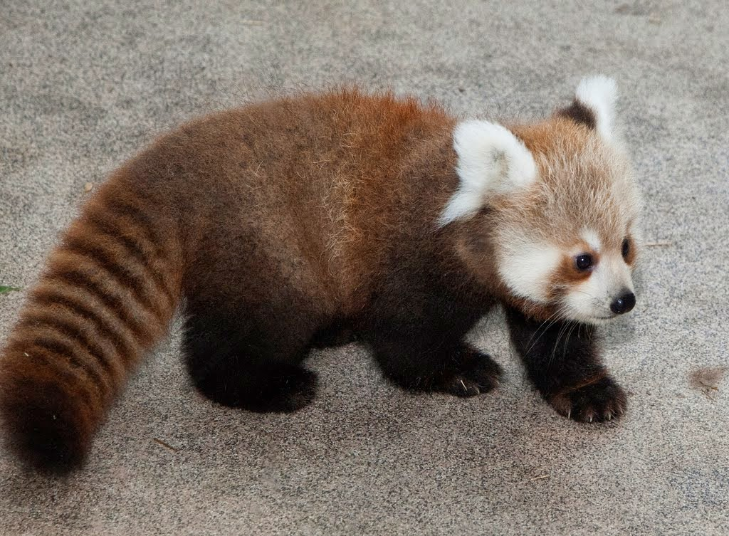 Is the big panda a bear or a raccoon