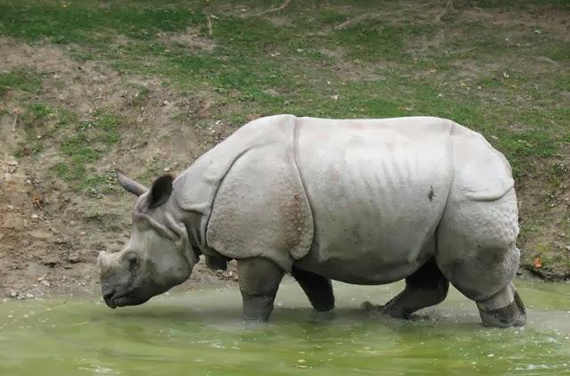 El Rinoceronte de Java.