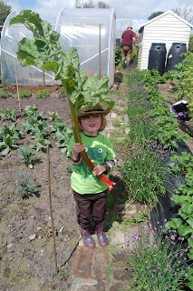 The wonders of growing giant rhubarb and how to do it.