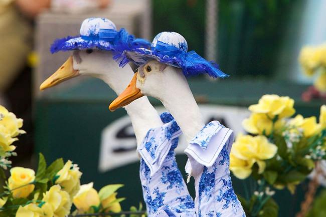 Le oche in australia sfilano durante la parata annuale e non si tratta di una bufala moda 3 - La parata bagno vignoni ...