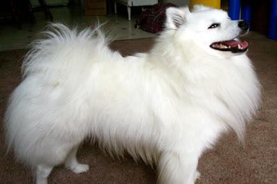 American Eskimo Dog Toy Size For Sale Uk